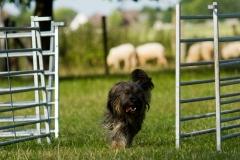 Schafehüter Josie