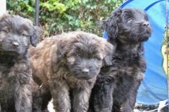 Brankas Puppies