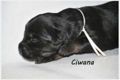 Ciwana