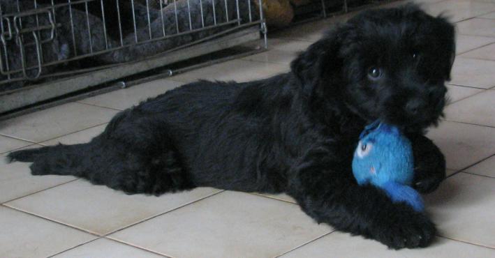 puppies Etoile male 8 weeks