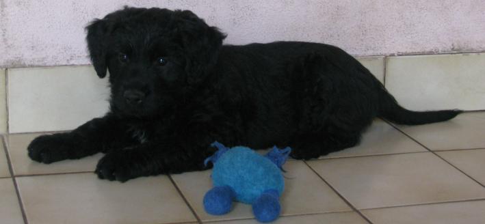 puppies Etoile Rüde 8 weeks