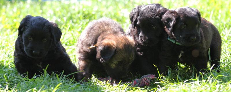 Puppy D-litter Feli-Gina & Ringo