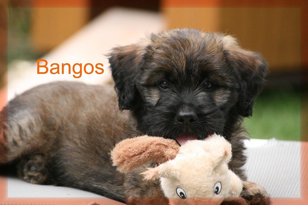 Bangos puppy