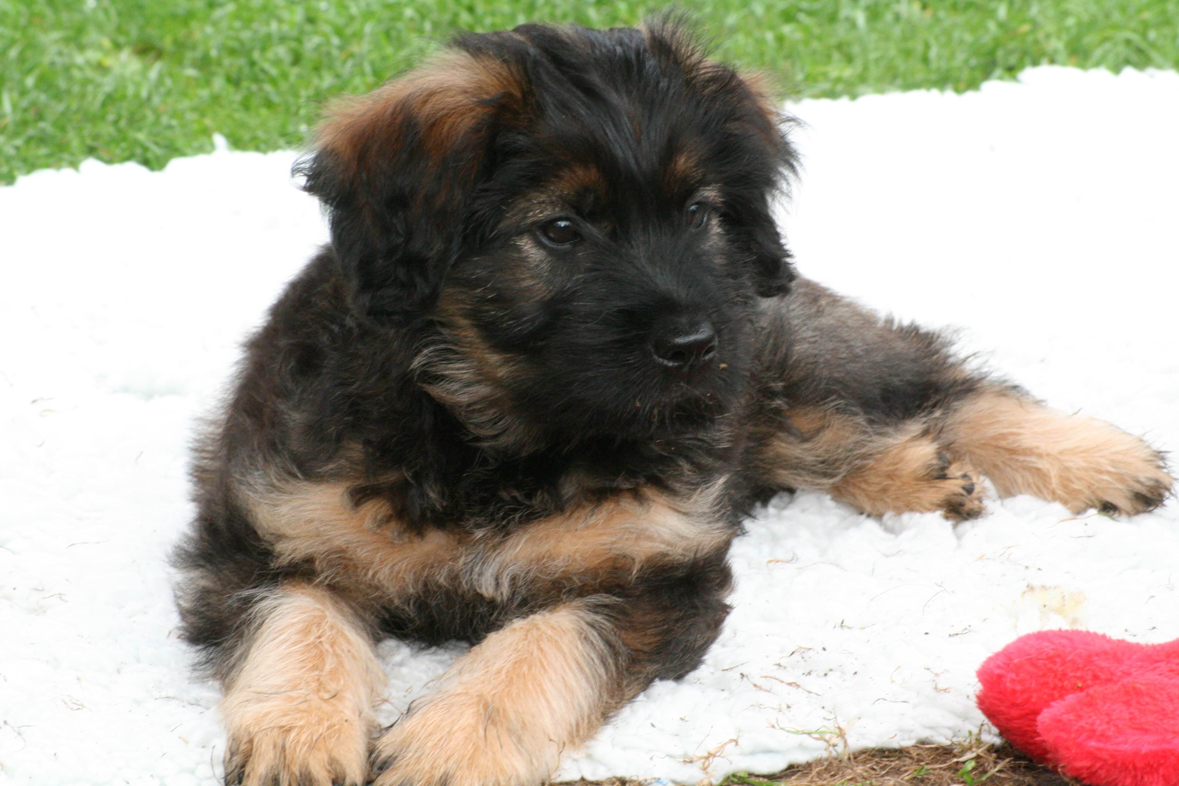 Basina as puppy