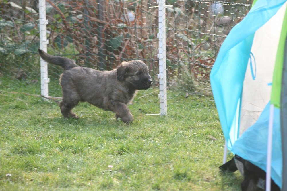 Chewbacca wandert durch den Garten