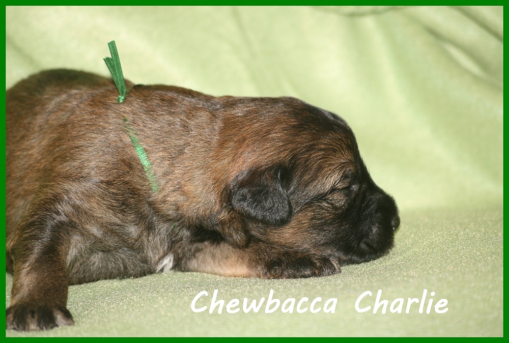 Chewbacca with 2 weeks