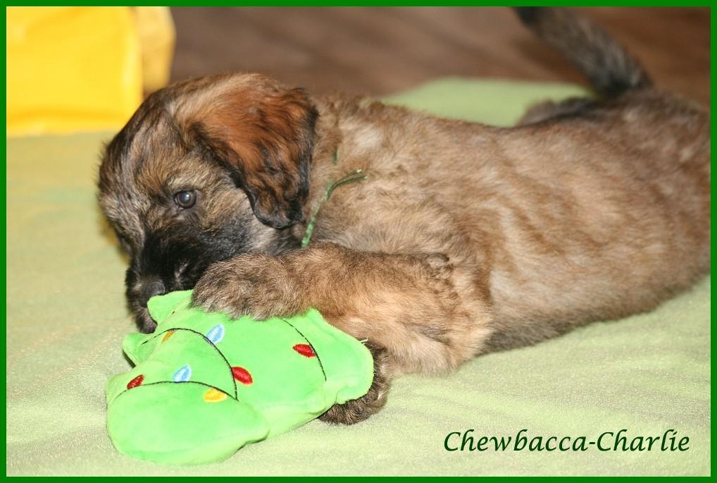Chewbacca 8 weeks